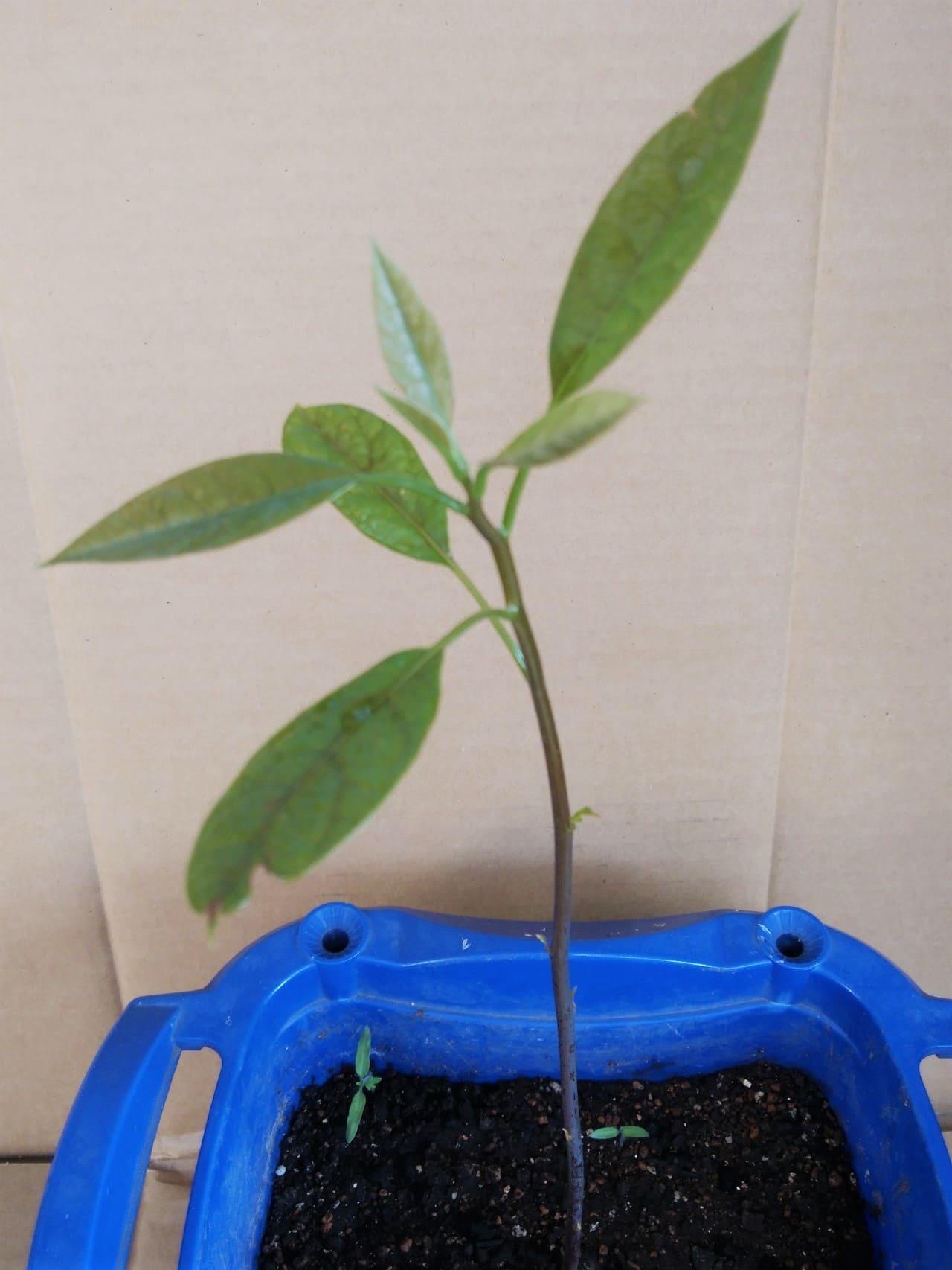 アボカドの種から芽が伸びた